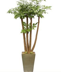 행복나무(부귀수)